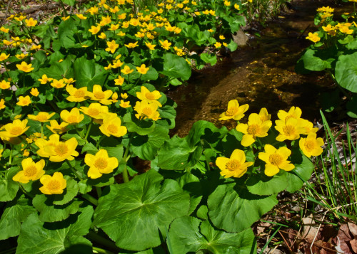 Marsh Marigolds on Springbrook Creek