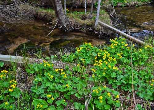 Moyer Creek Marigolds