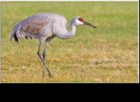 Sandhill Crane (photo birdsofessex.com)
