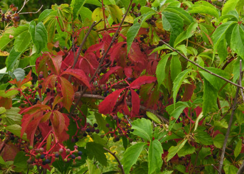 wild-berries-of-the-boyne-river-delta